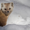 Pine Martin, March 09 2013,Algonquin Park