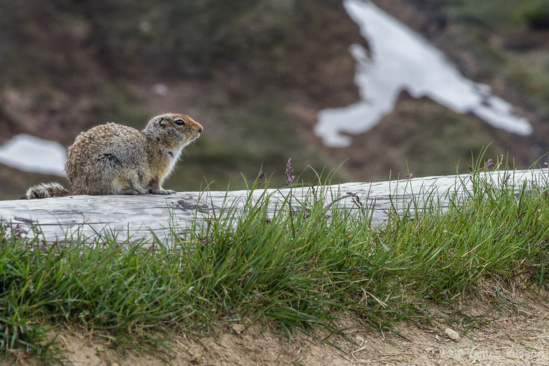 Artic Ground Squirrel, Denali National Park, Alaska, June 17 2012
