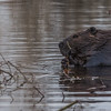 Beaver, December 17 2012, Frink Centre