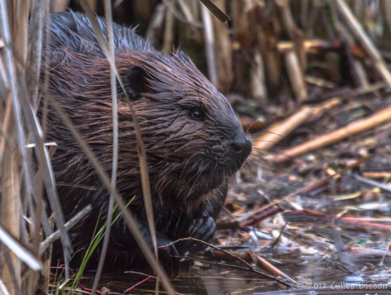 Beaver. Dec 17 2012, Frink Centre
