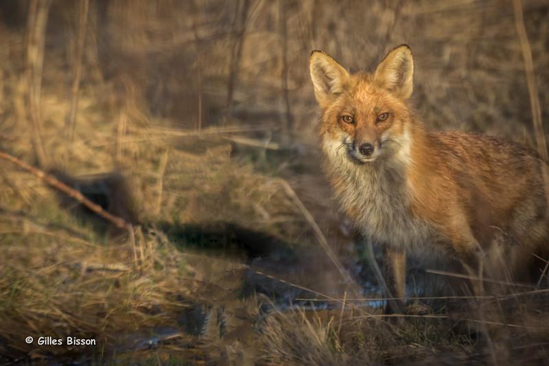 Red Fox,Presqu'ile Provincial Park, April 19,2014, Canon 7D Mark II, 100-400mm, 1/500,F7.1,ISO500