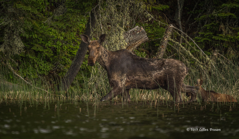 Cow Moose with calf, Remi Lake, Moonbeam, #0871, Canon T3i,100-400mm,1/800-f5.6-ISO 400, LR5