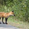 Red Fox, August 30 2012, Presqu'ile Provincial Park