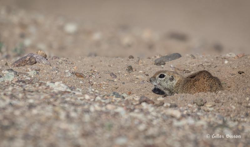 Prairie dog, Tucson,Arizona, March 21 2014, Canon 6D 400mm 1/1250 F7.1 ISO 160