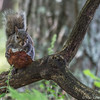 Red Squirrel, august 13 2011, Lemointe Point Conservation Area