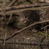 Otter, Moira river, Sept 9 2013, #6769,Canon T3i-100-400mm-1/1000-F5.6-ISO400-LR5