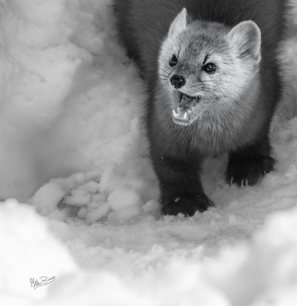 Pine Marten, Algonquin Park, Opeongo Road, February 28, 2019, Canon 7D Mark II, 100-400mm, 1/1250, F7.1, ISO 250