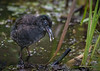 Virginia Rail Chick, July 24 2015, Frink Centre, Canon 7D Mark II,1/1250,F7.1, ISO 1600