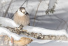 Cold Grey Jay