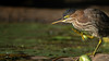 Green Heron, Aug 16, 2021, Moira River, Sony A7RIV, 100-400mm, 1.4X, 1/1250, F8.0, ISO 800