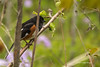 Eastern Towhee, Prince Edward Point, May 13 2013, #8542