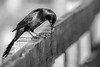 Common Grackle in Black & White, Frink Centre, May 26, 2020, Sony 7RIV, 200-600mm, 1/1250, F6.3, ISO 640