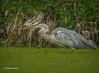Blue Heron, Moira river, Sept 09 2014, Canon T3i, 1/800,F7.1,ISO400