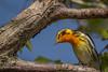 Blackburnian Warbler, Prince Edward Point,May 16 2013, #9331