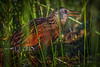 Virginia Rail, Frink Centre, Belleville, June 15, 2018, Canon 7D Mark II, 100-400mm, 1/1250, F6.3, ISO 400