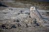 Snowy Owl, Owens Point, Presqu'ile Provincial Park, Dec 07 2014, Canon 6D, 100-400mm,1/1250,F7.1,ISO200