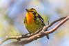 Blackburnian Warbler, Prince Edward Point,May 16 2013, #9363