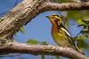 Blackburnian Warbler, Prince Edward Point,May 16 2013, #9330