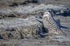 Snowy Owl, Owens Point, Presqu'ile Provincial Park, Dec 07 2014, Canon 6D, 100-400mm,1/1000,F8.0,ISO160
