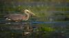 Blue Heron, June 13, 2021, Bay of Quinte, Blessington Creek, sony AR7IV, 100-400mm, 1.4X, 1/1600, F8.0, ISO 200