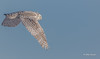 Snowy Owl, Amherst Island, January 27,2015, Canon 7D Mark2, 100-400mm, 1/1250,F7.1,ISO200