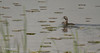 Pied-billed Grebe, June 10 2014, Presqu'ile Provoncial Park, Canon T3i, 100-400mm, 1/1250, F5.6, ISO200