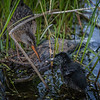 Virginia Rail with chick, Frink Centre, June 15, 2020, Sony A7R4, 200-600 mm, 1/1600, F6.3, ISO 1250