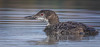Juvenile Common Loon