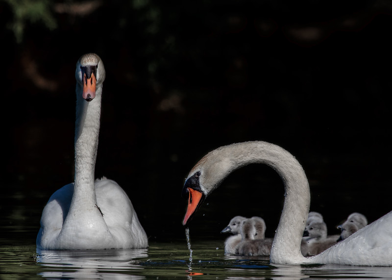 Swans with cygnets, May 29,2018, Bay of Quinte, Canon 7D Mark II, 100-400mm, 1/1250, F8.0, ISO 100