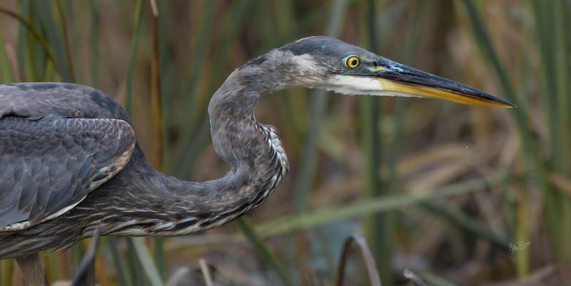 Blue Heron, Moira River, October 19,  2017, Canon 7D,  400mm, 1/1000 sec,  f7.1, ISO 800