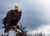 Bald Eagle, Newfoundland, August 30, 2019, Canon 7D MarkII, 1/1250, F7.1, ISO 400