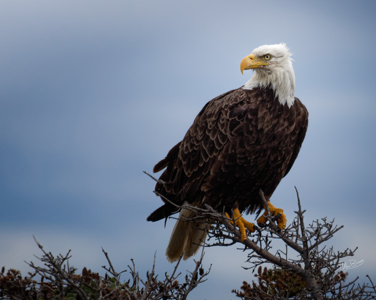 Bald Eagle, Newfoundland, August 30, 2019, Canon 7D MarkII, 1/1250, F5.6, ISO 400