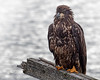 Golden Eagle ? or immature Bald Eagle, Twinlingate, Newfoundland, August 28, 2019, Canon 7D Mark II, 1/1250, f 7.1, ISO 800