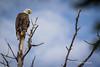Bald Eagle, Remi Lake, Moonbeam, June 28 2013, #0946, Canon T3i, 1/1000-f5.6-ISO 200,LR5