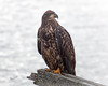 Golden Eagle ? or Immature Bald Eagle, Twinlingate, Newfoundland, August 28, 2019, Canon 7D Mark II, 1/800, f 6.3, ISO 400