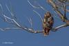 Red-tailed Hawk, Presqu'ile Provincial Park, February 06 2014, #8802, Canon T3i 1/1000 F7.1 ISO100