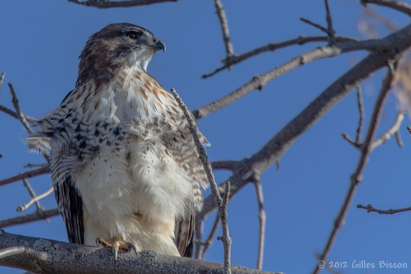 Red-tailed hawk, Amherst Island, Nov 2012