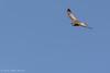 Northern Harrier, Jan 11 2012, Amherst Island