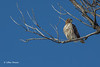 Red-tailed Hawk, Presqu'ile Provincial Park, February 06 2014, #0132, Canon 6D 1/160 F11 ISO50