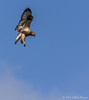 Rough-legged Hawk, November 14 2012, Amherst Island