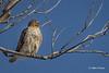 Red-tailed Hawk, Presqu'ile Provincial Park, February 06 2014, #8893, Canon T3i 1/2000 F7.1 ISO100