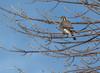 American Kestrel, Amherst Island, Janurary 21,2015,Canon T3i,100-400mm, 1/1000,F7.1,ISO200