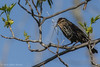 Female Red-winged Blackbird, May 18,2012, Prince Edward Point