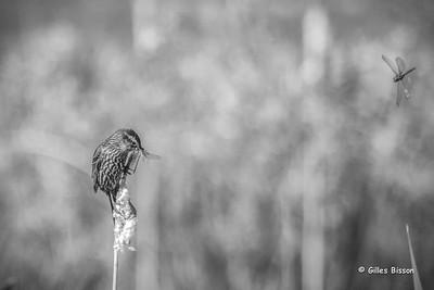 Blackbirds-Grackles-Cowbirds-Orioles