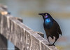 Common Grackle, May 15 2012, Frink Centre