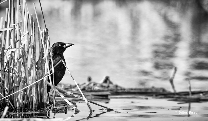 Common Grackle, Blessington Creek, Bay of Quinte, May 04, 2016, Canon 7D markII, 100-400mm, 1/2000,F8.0,ISO 500