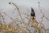 Phainopepla, Tucson, Arizona, March 12 2014, Canon 6D, 1/800 F5.6 ISO1250