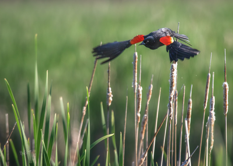 Red-winged Blackbird in flight, May 30, 2018, Frink Centre, Belleville, Canon 7D MarkII, 100-400mm, 1/1250, F7.1, ISO 250
