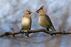 Cedar Waxwings, May 02, 2018, Prince Edward Point, Prince Edward County, Canon 7d MarkII, 400mm, 1/1250, F7.1, ISO 320