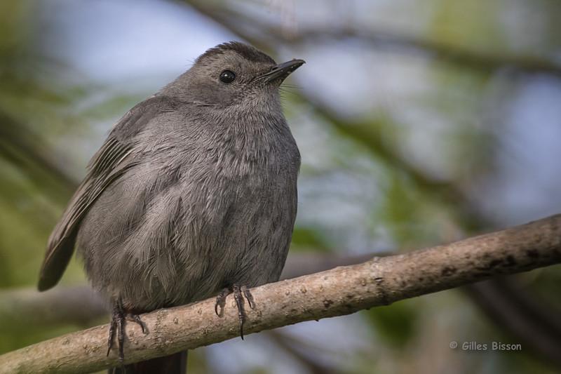 Gray Catbird, May 20  2015, Presqu'ile Provincial Park, Canon 7D Mark II, 100-400mm,1/800,F7.1,ISO 800